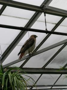 hawk in greenhouse