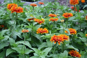 zinnia zowie yellow flame