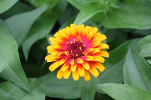 more yellow zinnia