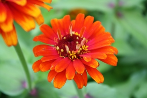 more orange zinnia