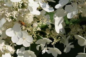 honeybee on hydrangea