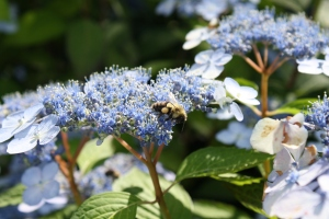 wild bee on hydrangea