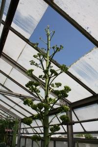 agave flowerstalk through greenhouse