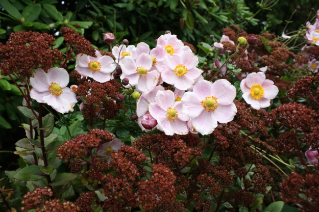 anemone and sedums
