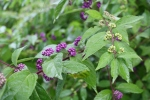 callicarpa purple berries