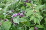 callicarpa purple berries