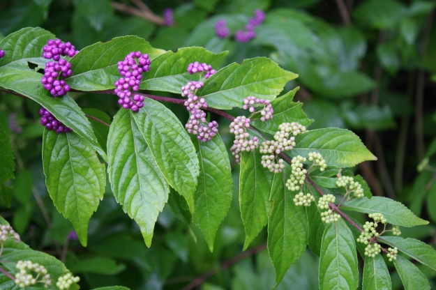 callicarpa with berries