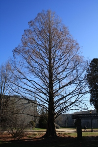 dawn redwood bare