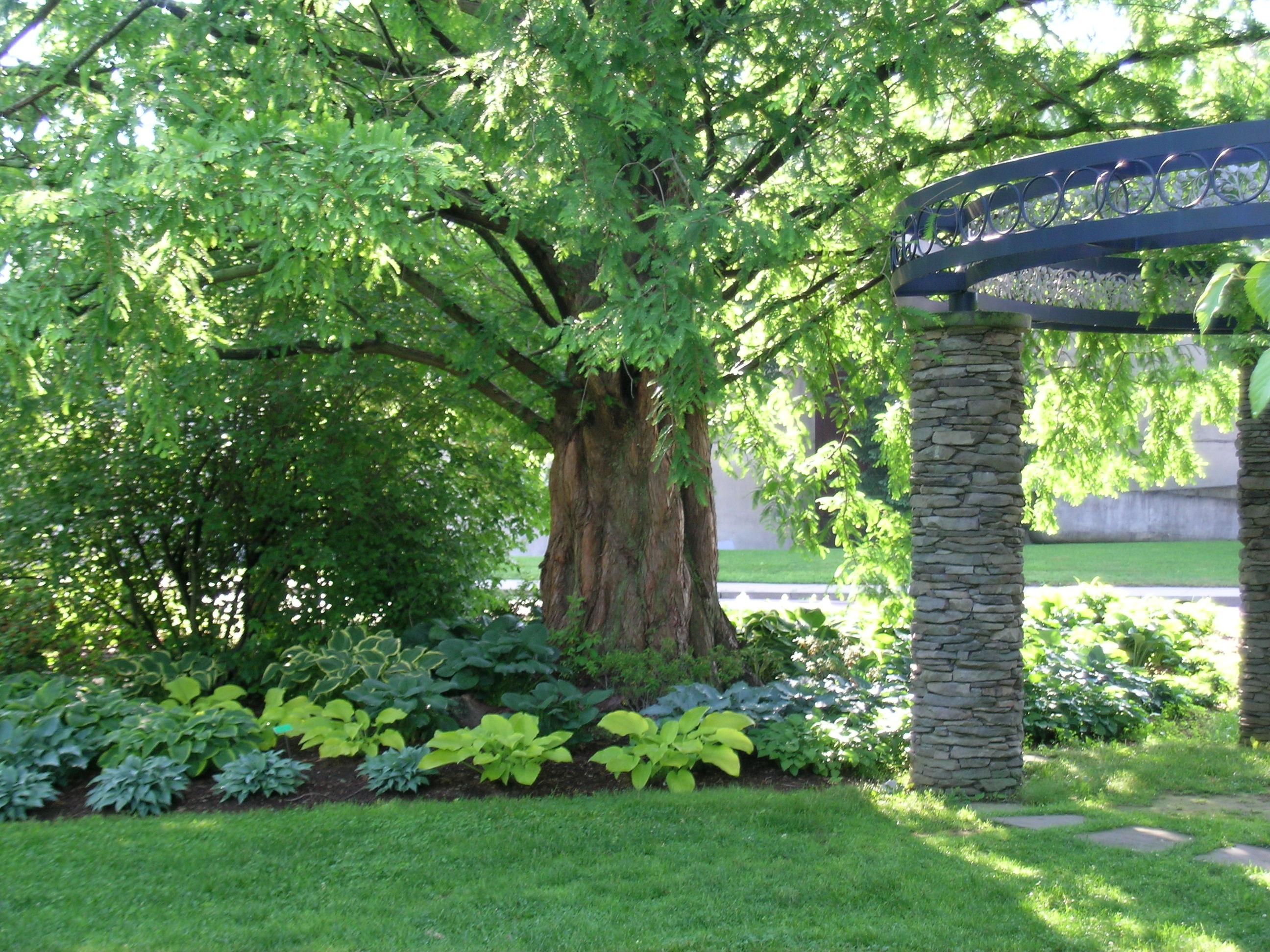 The Dawn Redwood Uri Botanical Gardens Blog