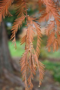 metasequoia twig and needles
