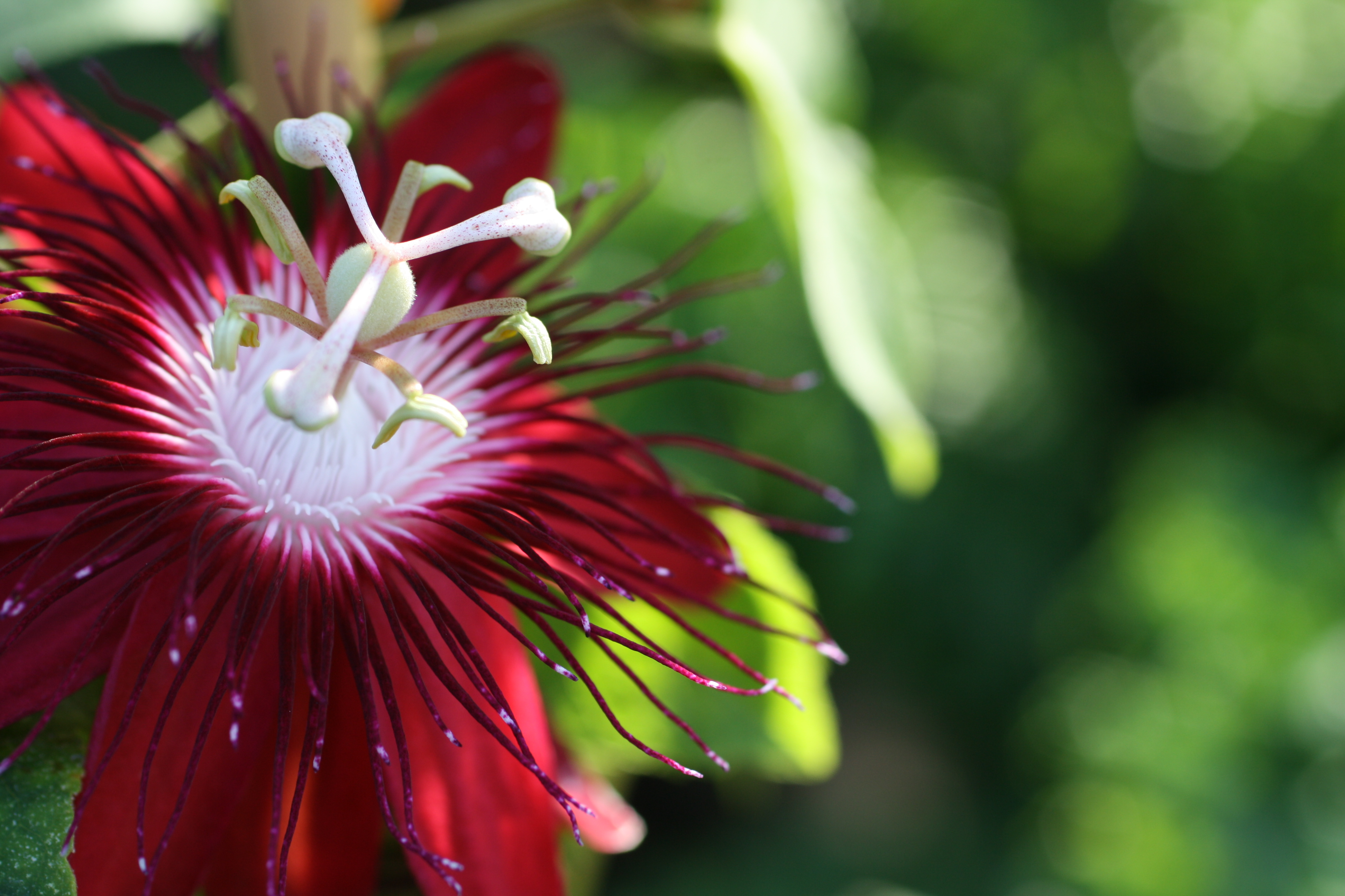The passion of flowers uri botanical gardens blog lady margaret passionflower dhlflorist Images