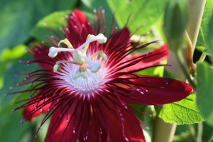 lady margaret passionflower