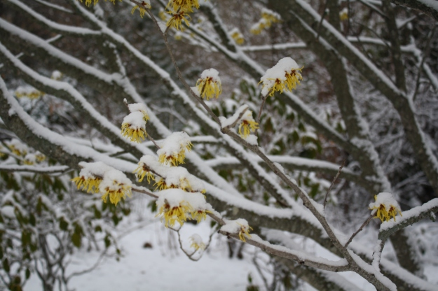 hamamelis in snow