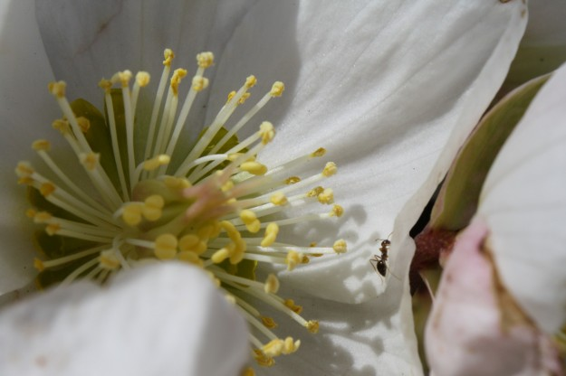hellebore with ant