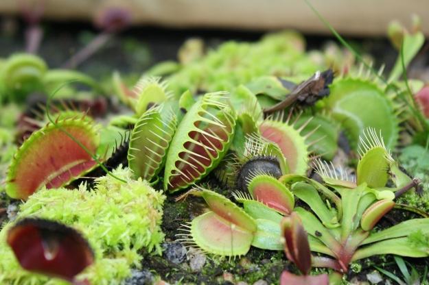 dionaea muscipula, the venus flytrap