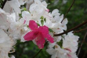 geisha azalea