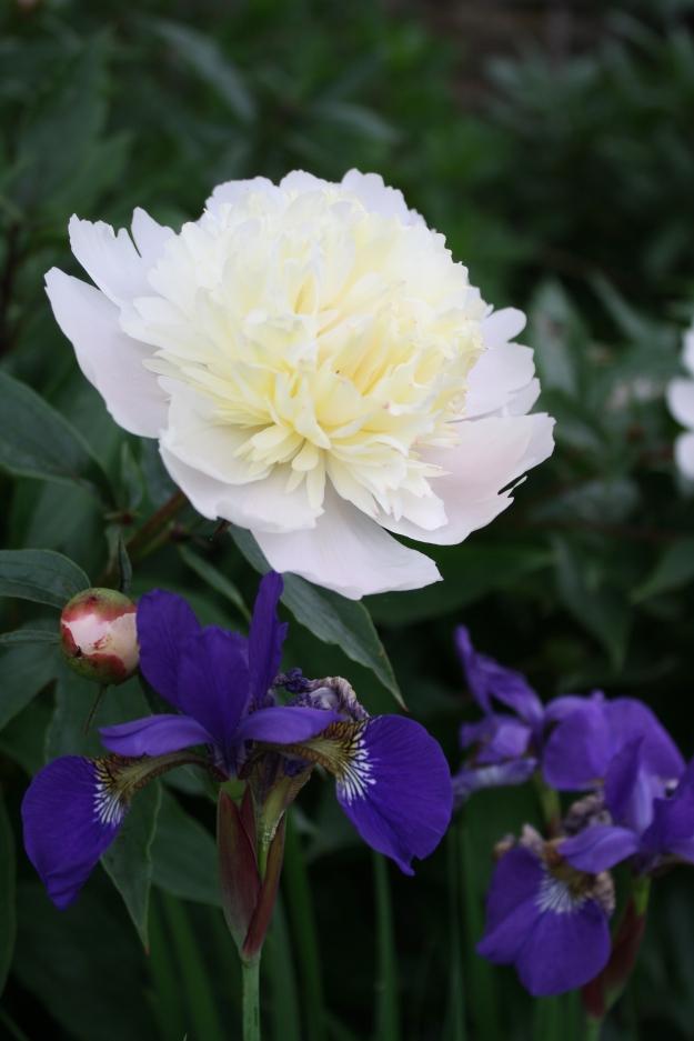 peony and iris