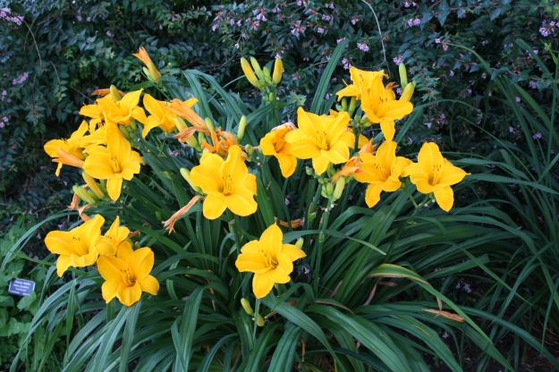 yellow daylily clump