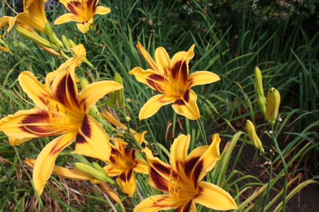 bicolor daylily