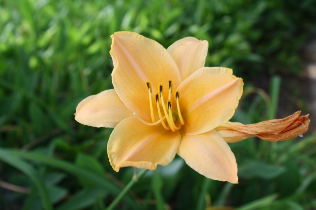 peach daylily