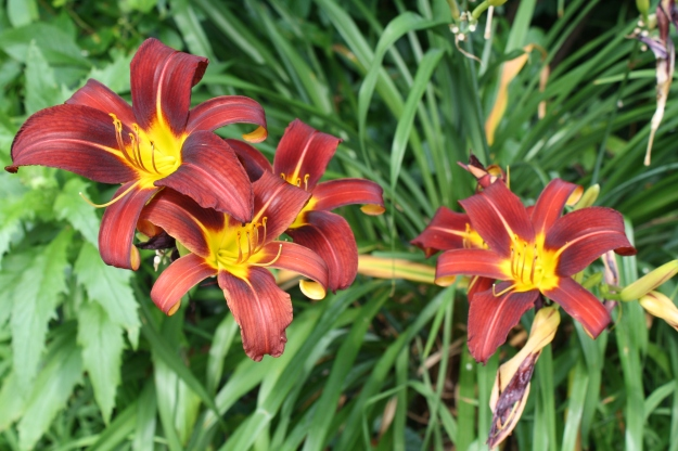 red and yellow daylilies