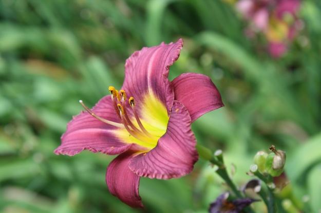 ruffled lavender daylily