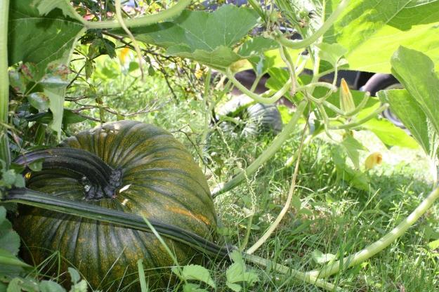 pumpkins on vine