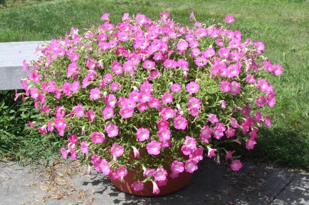 AAS pink petunias