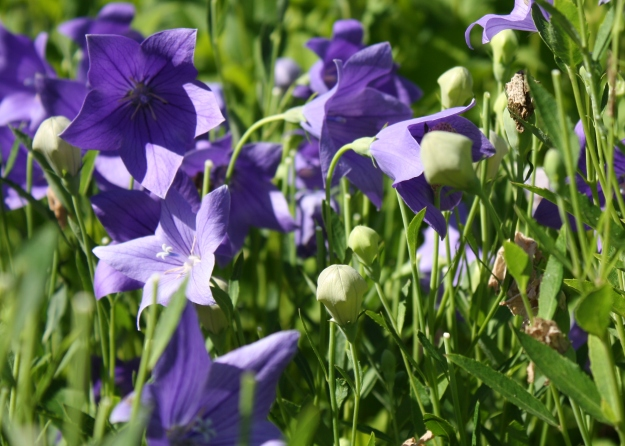 Platycodon, balloon flower