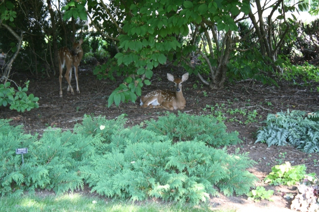 two fawns in garden