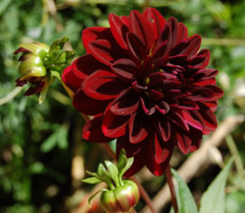 large dark red dahlia