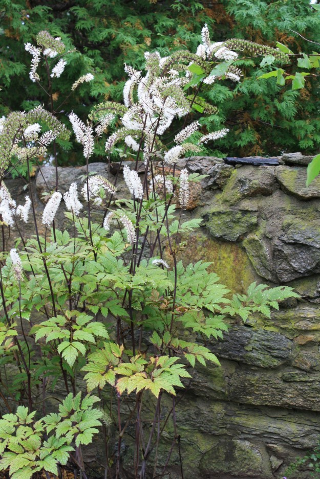 actaea near stone wall