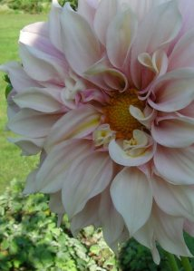 shadow on light pink dahlia