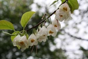styrax japonica flowers