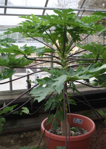 dwarf papaya