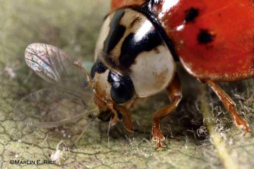 harmonia lady bug