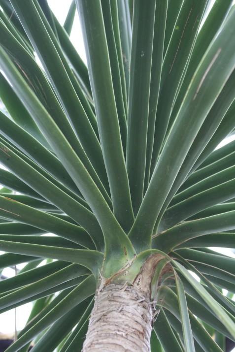 Beaucarnia recurvata, ponytail palm