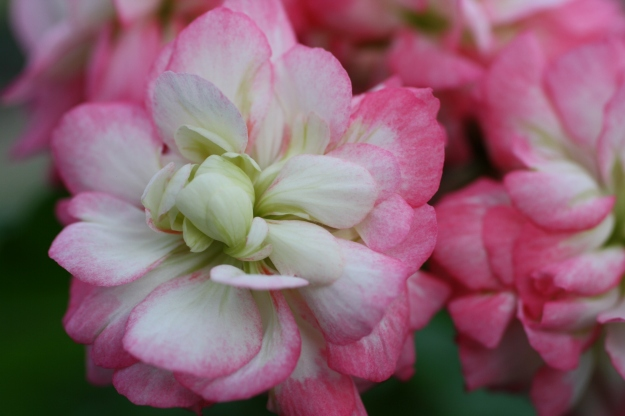 apple blossom geranium