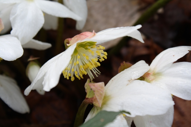 hellebore, christmas rose