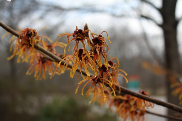 hamamelis, witch hazel