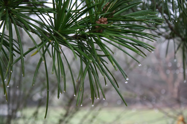 dew drops on white pine