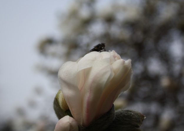 fly on magnolia flower
