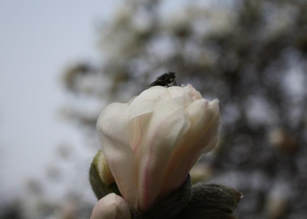 fly on magnolia flower