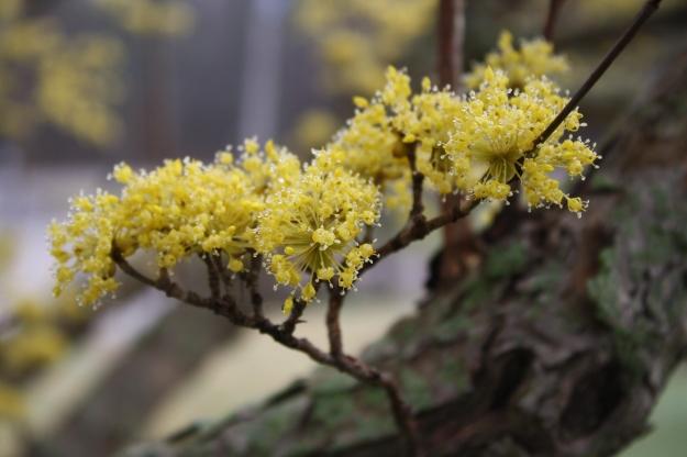cornus officinalis flowers
