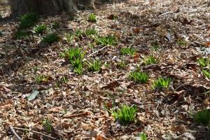 emerging green leaves