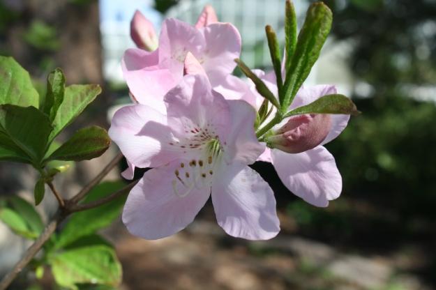 royal azalea, rhododendron schlippenbachii