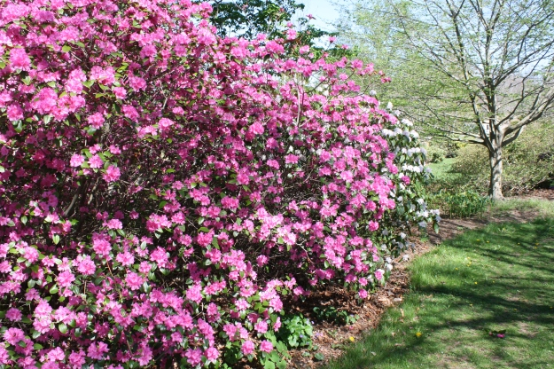 rhododendrons in ericaceous garden