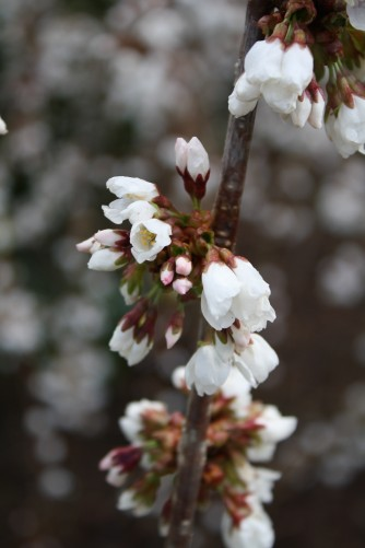 flowering cherry 'Snow Fountains'