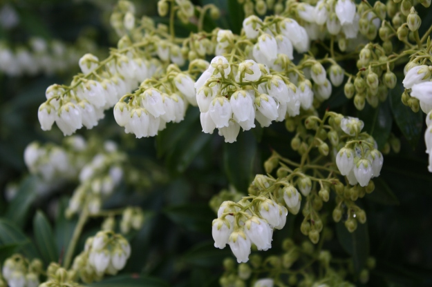 Pieris japonica 'Purity White'