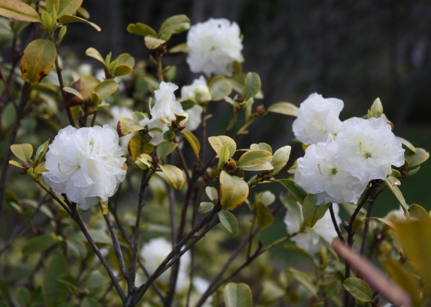 'April White' Rhododendron